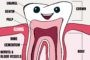 Tooth Fairy Smiles Blog Image Learn the Anatomy of a Tooth