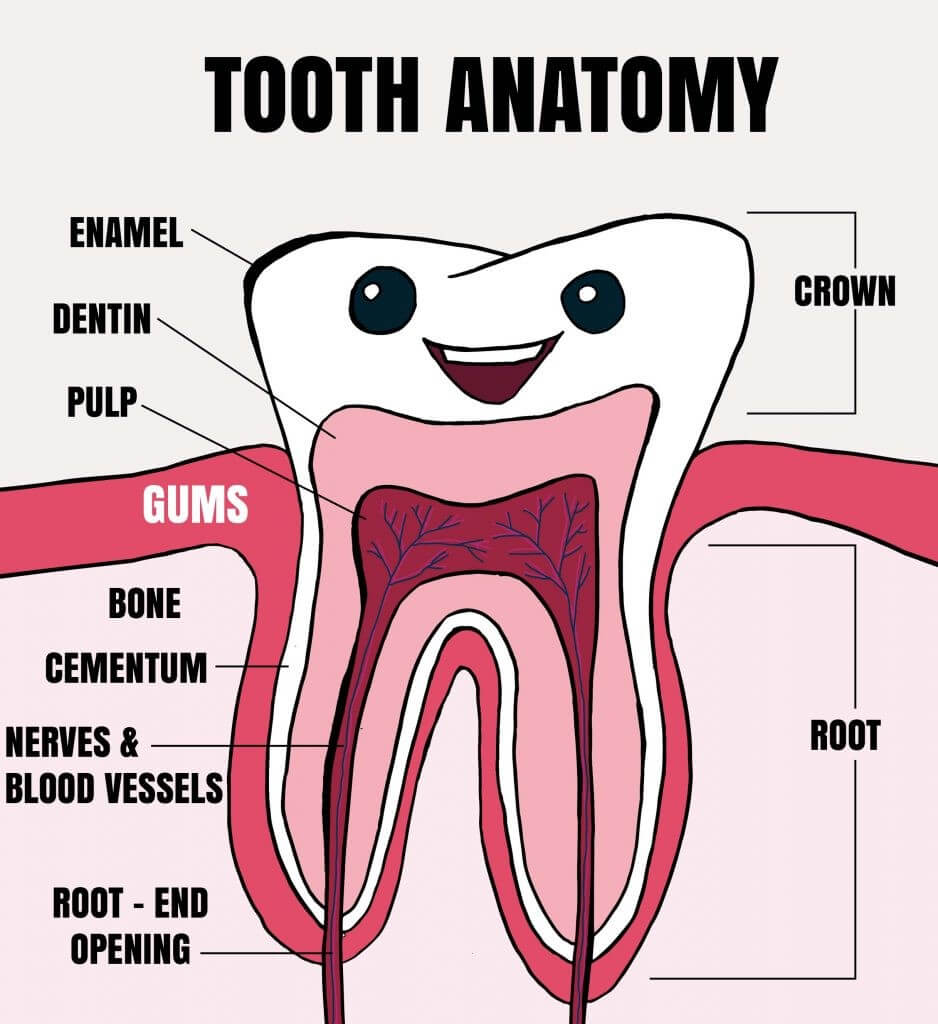 Tooth Fairy Smiles Tooth Anatomy
